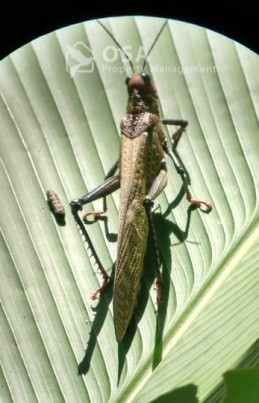 grasshopper manual antonio