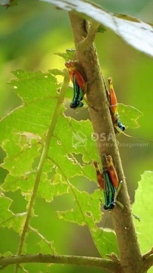 rainbow grasshopper manual antonio