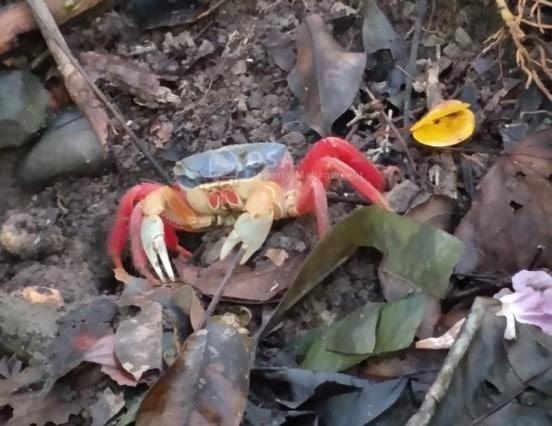 crab costa rica manual antonio national park
