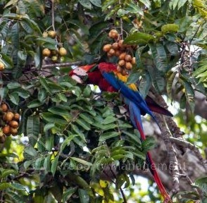 scarlet macaw sierpe river wildlife tour