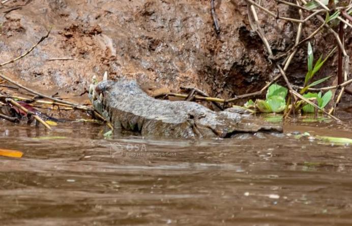 crocodile sierpe costa rica