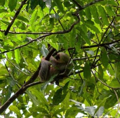 two-toed sloth sierpe costa rica