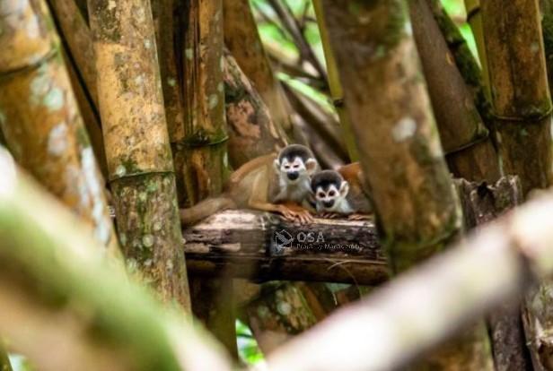 squirrel monkey sierpe