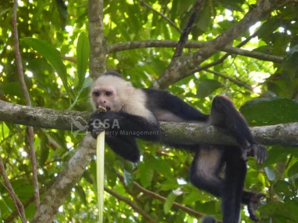 Whtie-faced capuchin monkey