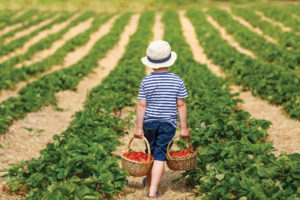 Little kid picking and eating strawberries on organic bio berry farm in summer, on warm sunny day.
