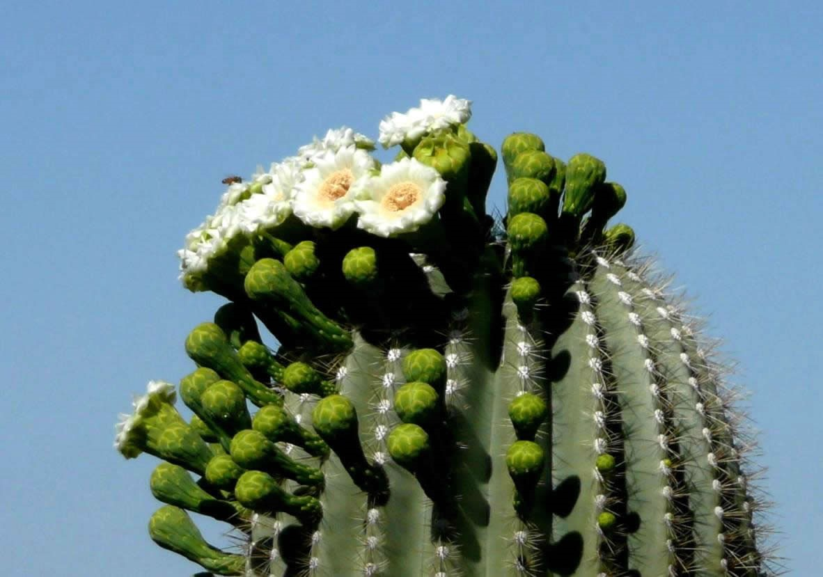 Silicon saguaros are starting to flower