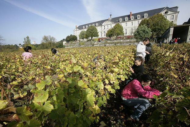 Crédit Thierry Bonnet - Taille d'une vigne se trouvant non loin du centre-ville d'Angers.