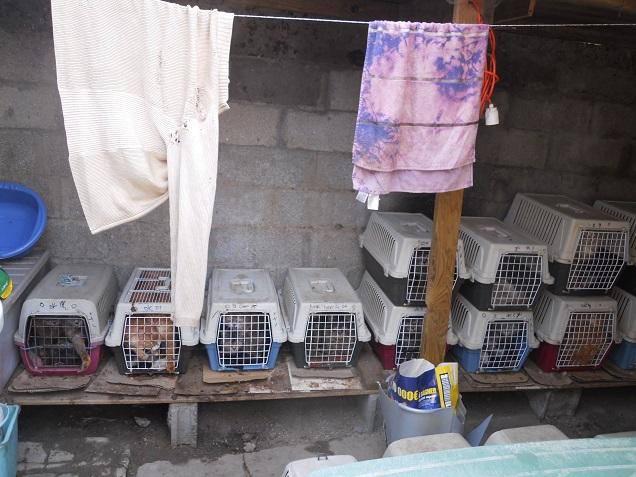 Mise à l'abri d'une cinquantaine de chats maltraités dans le Maine-et-Loire.