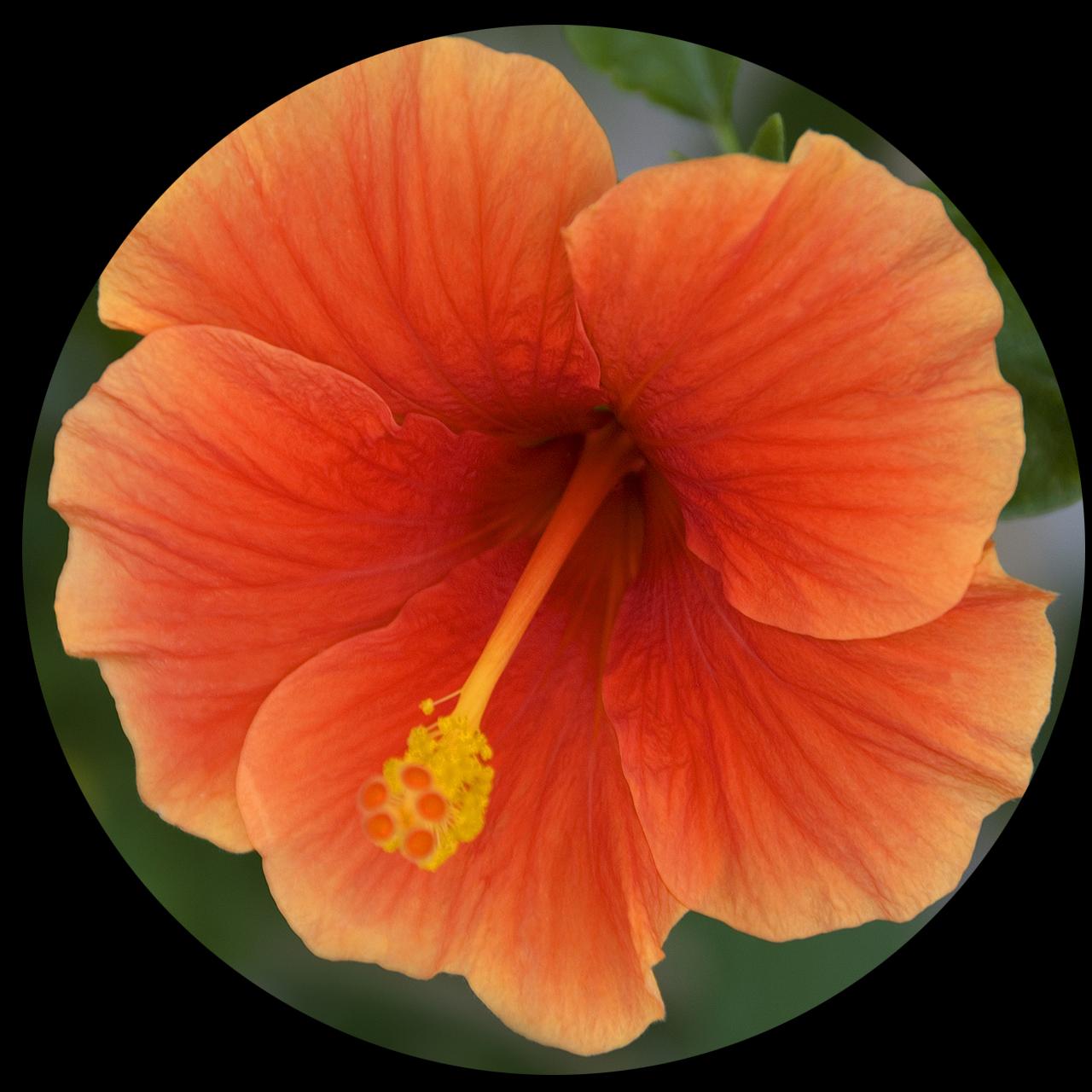 Tangerine Hibiscus (Hibiscus rosasinensis), Tucson, AZ May