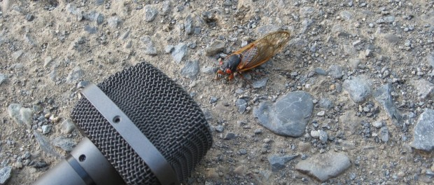 Cicada and microphone