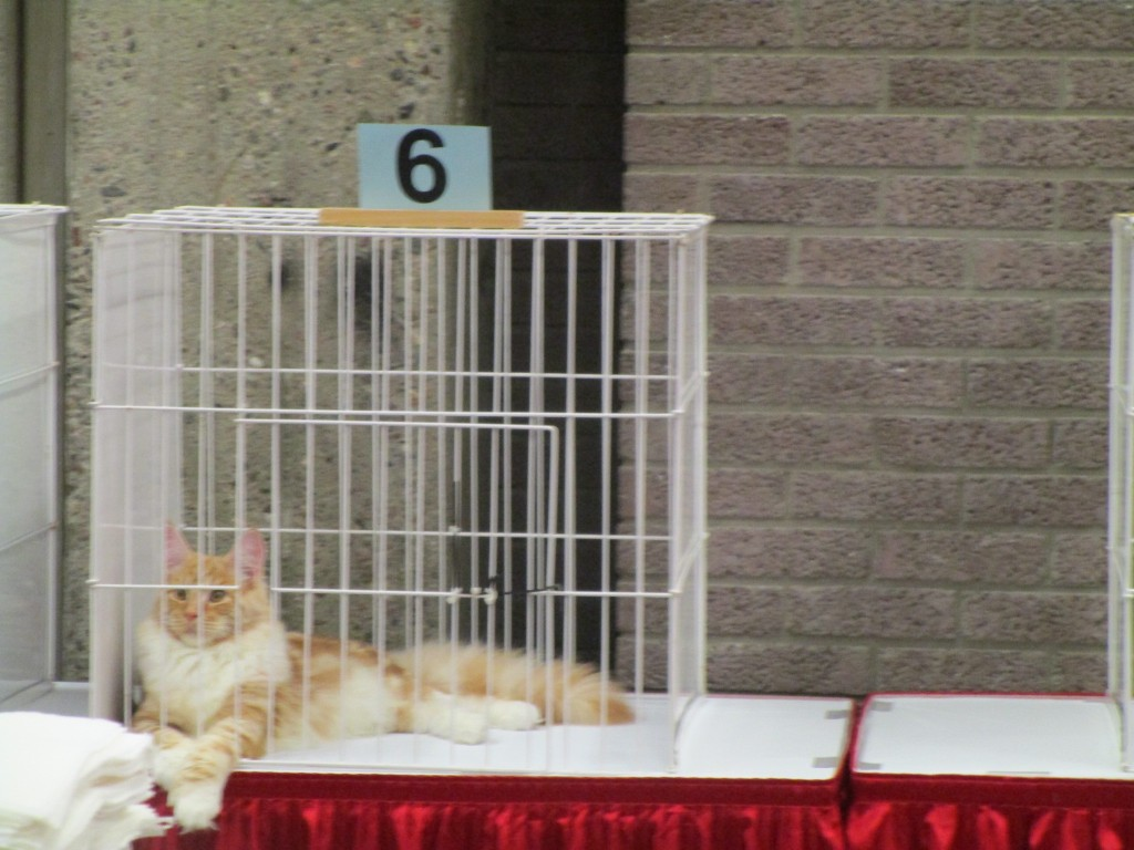 Maine Coon waits for judging. SNAC. Photo Rachel LEvine