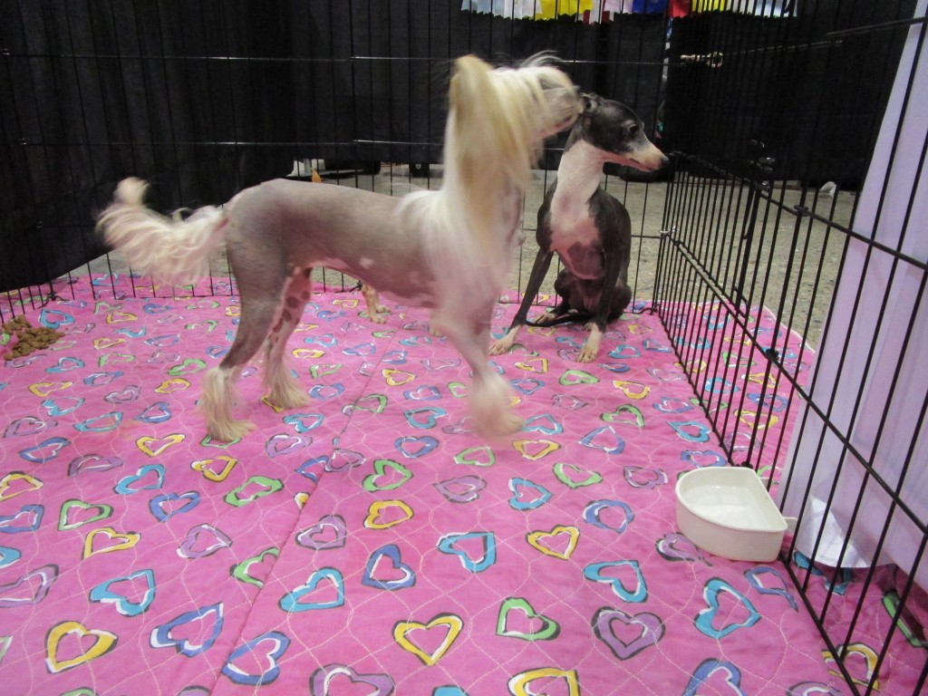 Chinese Crested Dogs. SNAC. Photo Rachel Levine