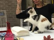 Judging of cat. Salon National de Animal Compagnie de Montreal. SNAC. Photo Rachel Levine