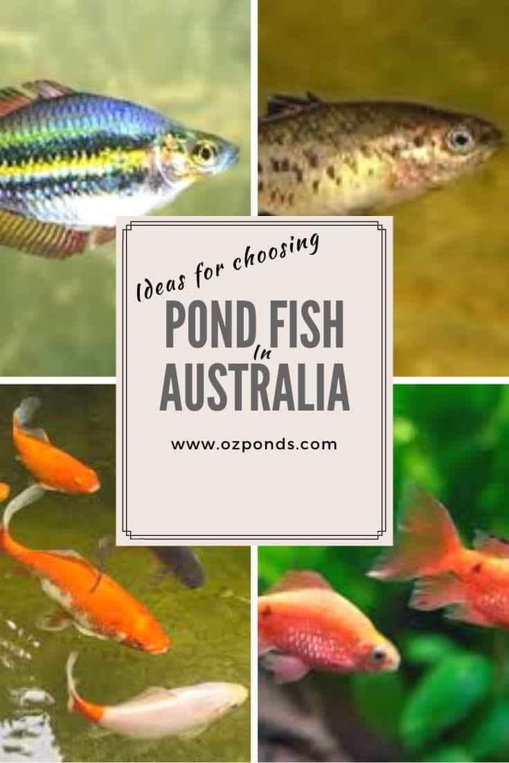 Pond fish ideas Australia