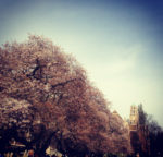 Cherry Blossoms at University of Washington