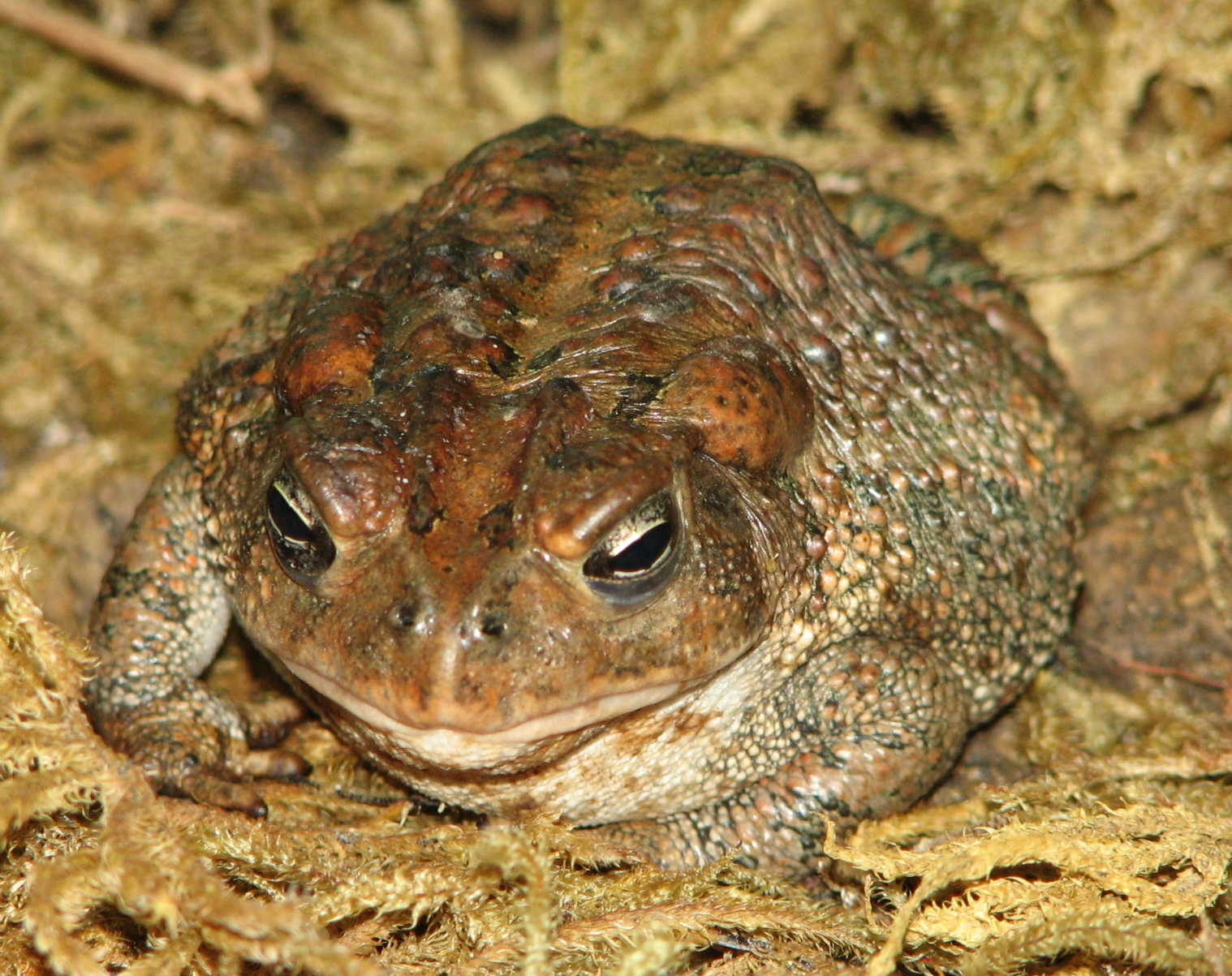 American_Toad_Image_006