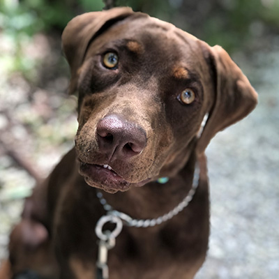 A Catahoula Leopard Dog sitting obediently on a gravel drive and looking at the camera