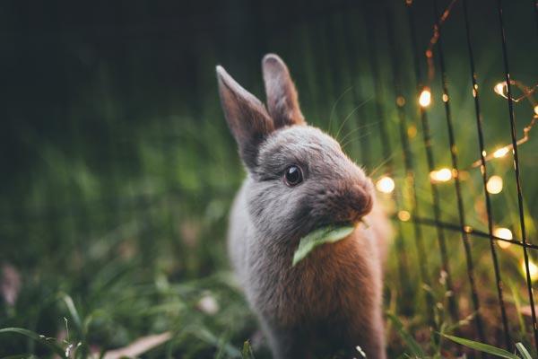adobt-rabbit