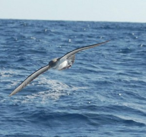 """Booby who just checked out the plastic squid lure trailing """"Fleetwood"""""""