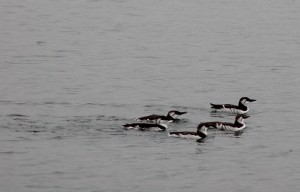 Can anyone identify? Murrelets?
