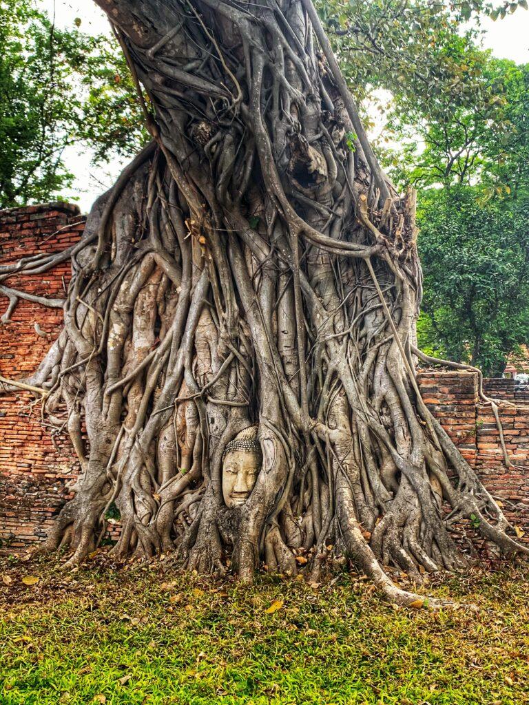 Cabeza de Buda que sobrevivió al paso del tiempo de entre las raíces de un árbol