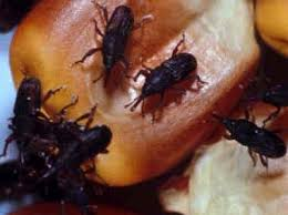 حشرة السوس