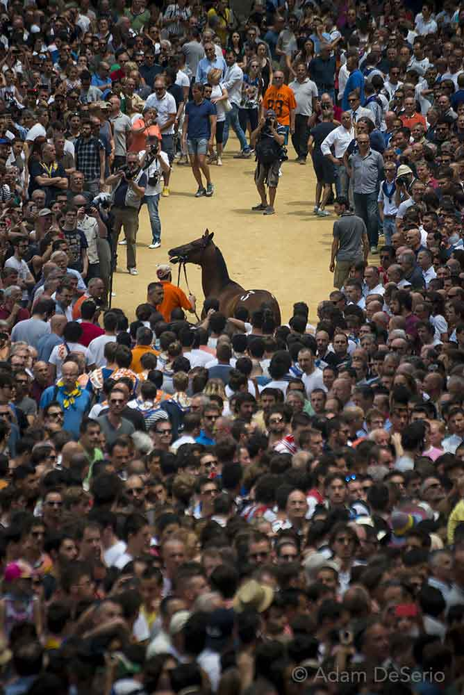 Getting The Horse, Palio, Siena, Italy