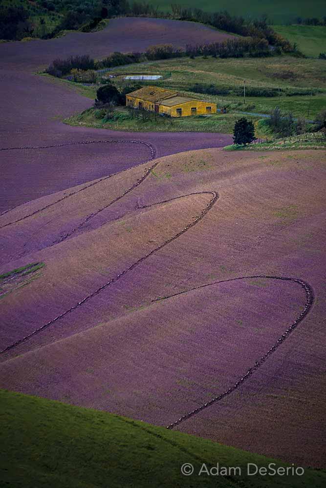 Field Of Purple, Tuscany