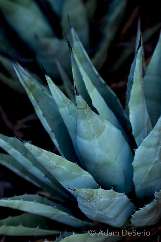Agave Plant V2, Arizona