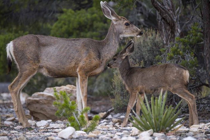Doe & Fawn, Arizona