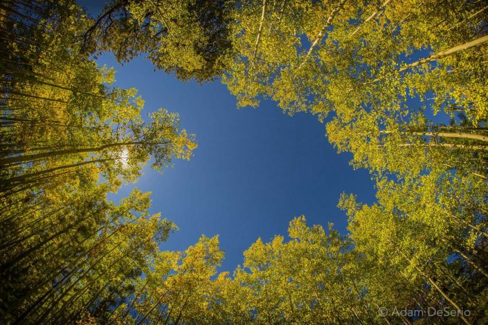 Looking Up Trees, Flagstaff, Arizona