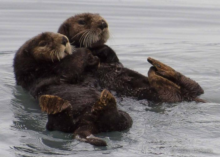 Otters Hold Hands, Alaska