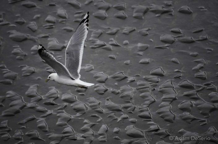 Seagull, Alaska