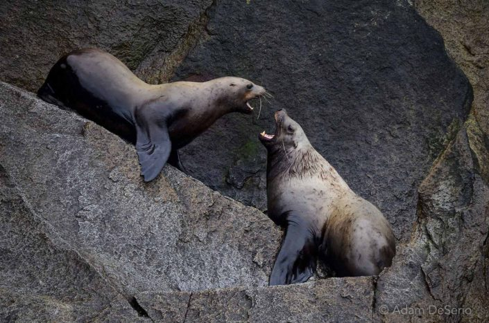 Talking Back, Seals, Alaska