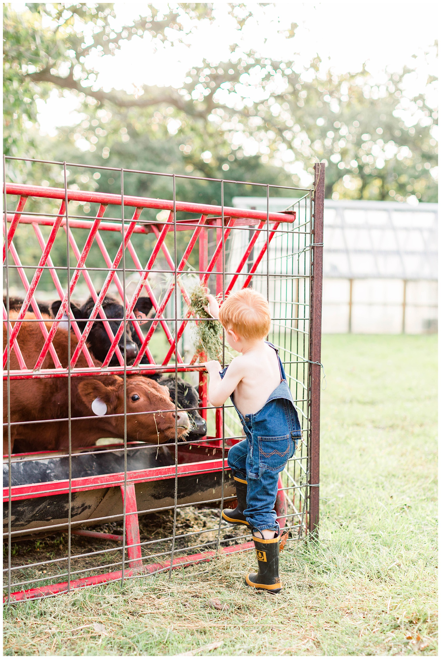 Little farm boy wearing overall bibs and boots feeding calves some hay | CB Studio