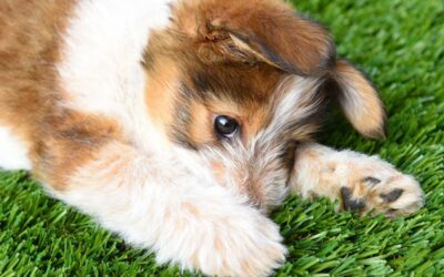 Pet owners turn to using artificial turf for easy-to-clean, safe play area for animals