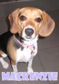 Mackenzie (beagle)