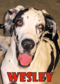 Wesley (Great Dane)