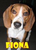 Fiona (beagle)