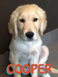 Cooper_golden