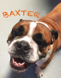 Baxter(old english bulldog)
