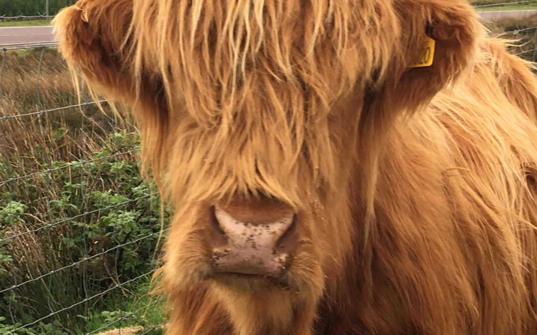 Step Away From the Hairy Coo!