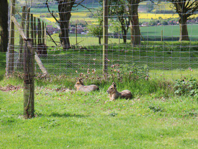 Maras at Whipsnade Zoo