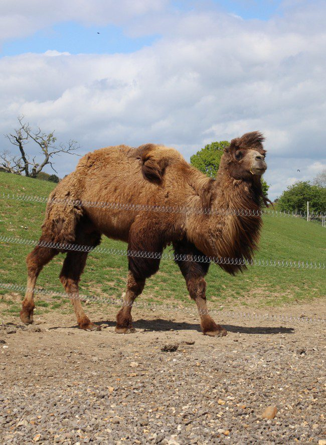 Bactrian camel at Whipsnade Zoo
