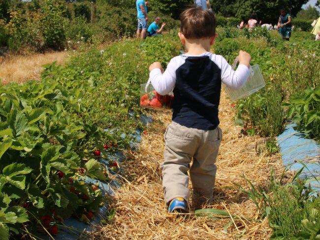 Picking strawberries at Crockford Bridge Farm