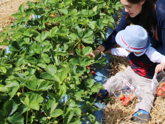 Picking strawberries at Crockford Bridge Farm