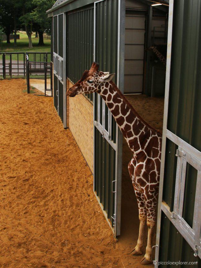 Giraffes Whipsnade Zoo