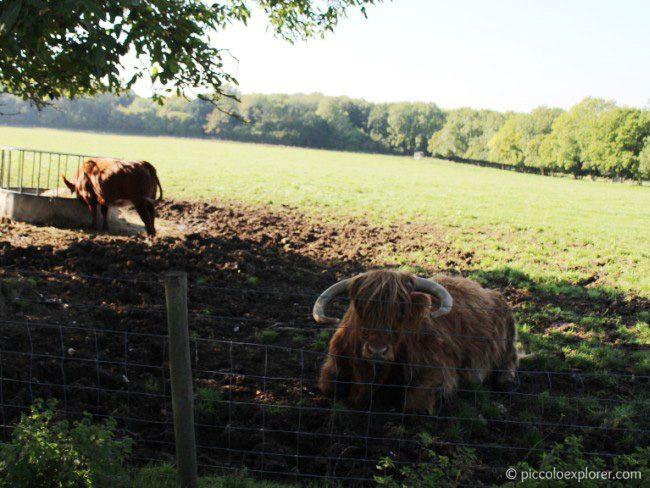 Bulls at Bocketts Farm Park Surrey