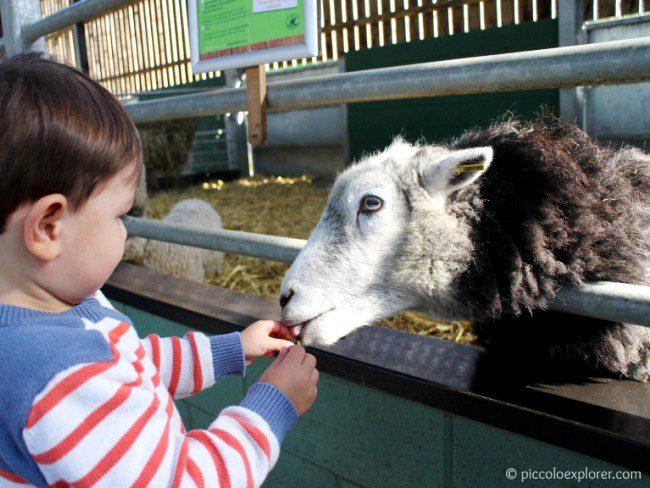 Feeding the sheep at Bocketts Farm Park Surrey