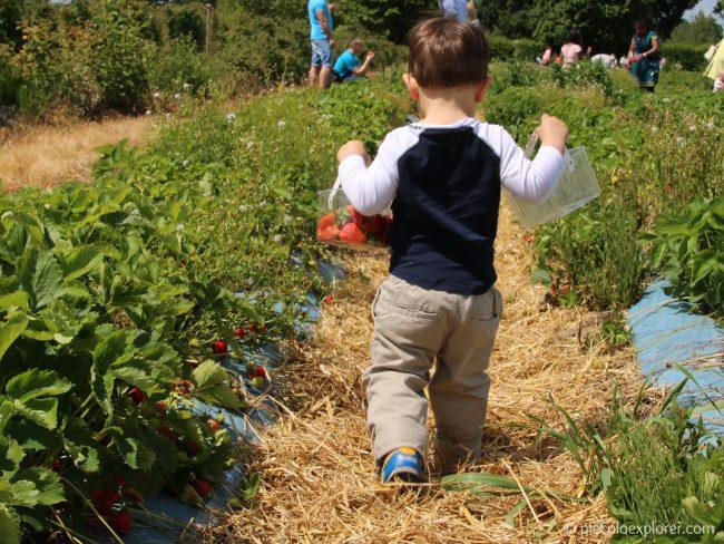 Crockford Bridge Farm Surrey Strawberry Picking